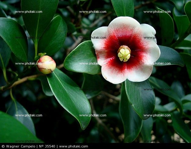 http://www.photaki.com/picture-clusia-lanceolate-leaf-and-flower-brazil_35540.htm