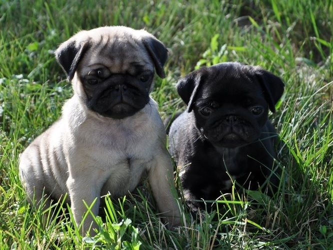 Cute Fawn & Black Pug Puppies MY LIFE DREAMS Pinterest