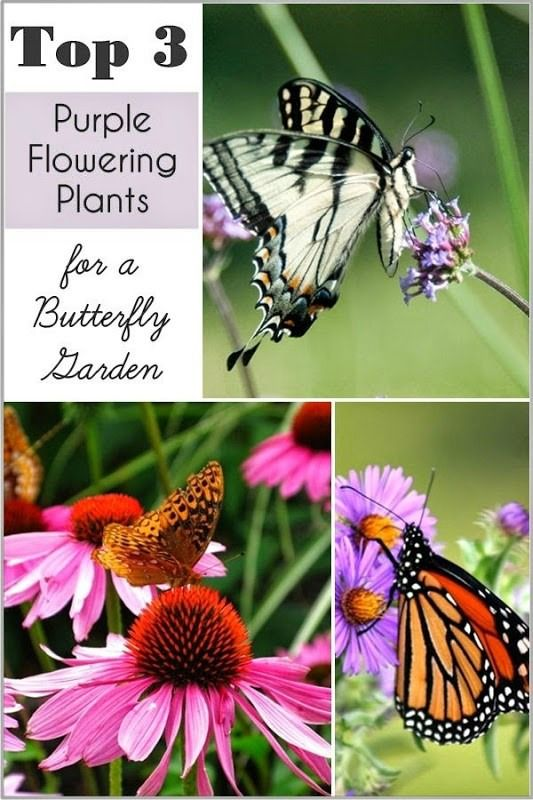 Top purple plants for a butterfly garden - I love to grow plants in our flower beds, baskets and containers that attract butterflies. One of my favorite flower colors to add to my yard and containers is purple. I'm planning to add more this coming summer; these are the top 3 purple flowering plants to attract butterflies! www.settingforfour.com