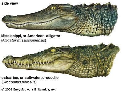 Interview with Alligator – Differences between Alligators and Crocodiles