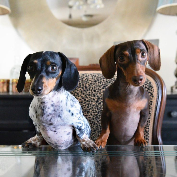 'Breakfast Please' - Reese & Indiana the Miniature Dachshund Dogs