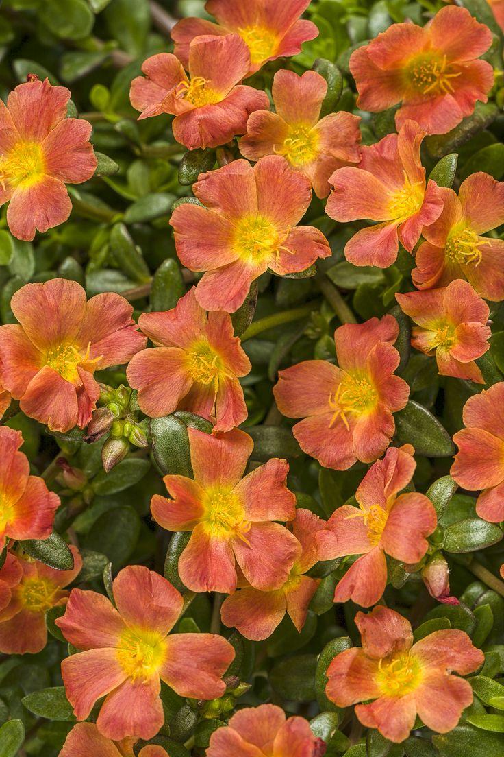 Mojave®+Tangerine+-+Moss+Rose+-+Portulaca+grandiflora