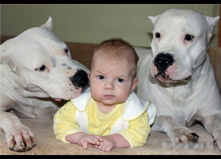 Wonderful Dogo Chubby Adorable Dog - 66ff61b47943871812ae1088ae9241f3--dogo-argentina-dogs  Collection_319068  .jpg