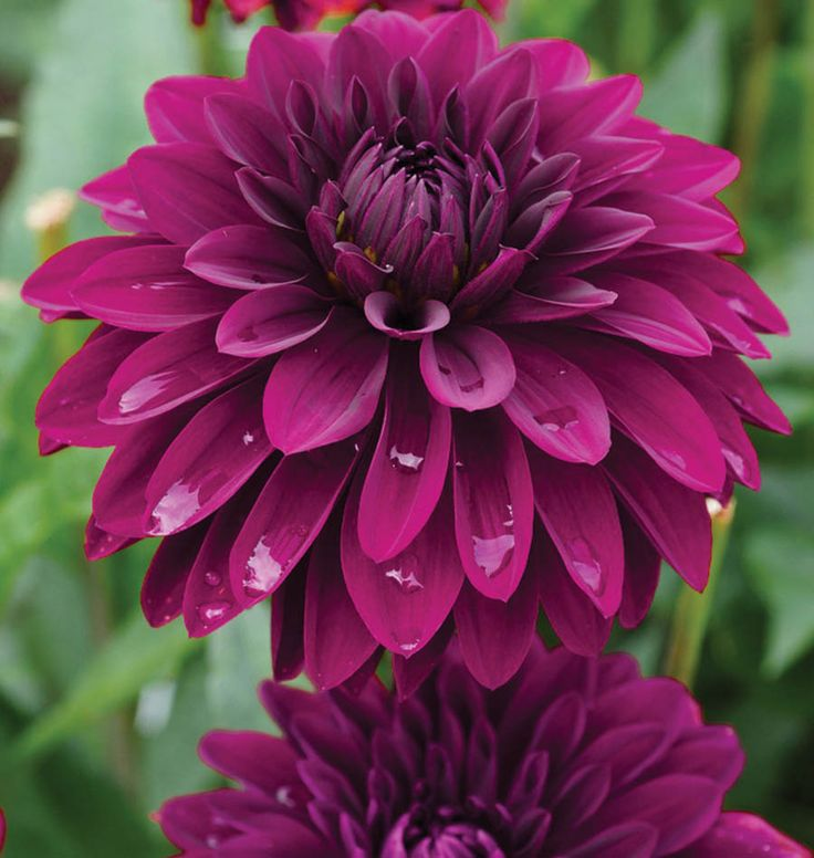 17 best images about flowers dahlias mums zinias for Flowers that look like dahlias