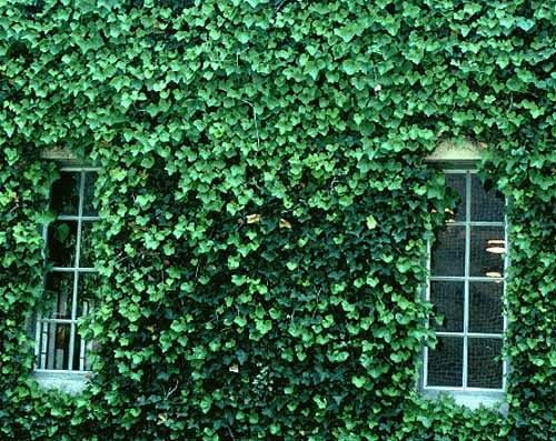 english ivy phot courtesy of cornell english ivy hedera helix is an evergreen perennial vine hearty in zones ivy is