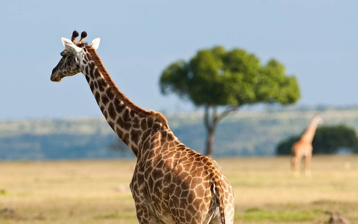 Giraffe Wallpapers  Wallpaper  1920×1080 Giraffe Images Wallpapers (41 Wallpapers) | Adorable Wallpapers