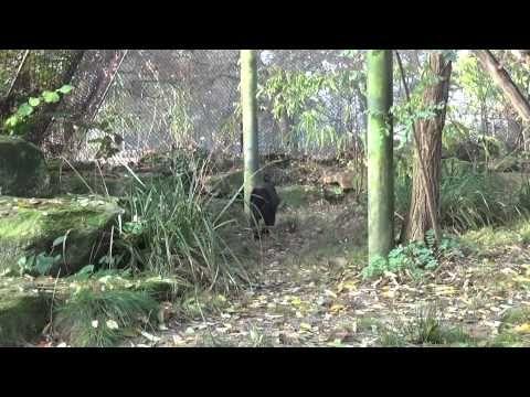 Jaguars in Dierenpark Emmen - YouTube
