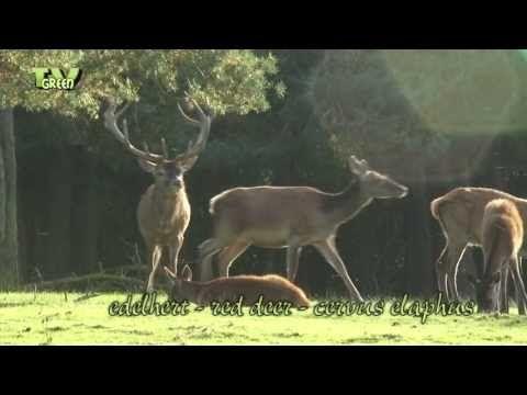 Wild Peers: Hertenbronst - Red deer rut - YouTube