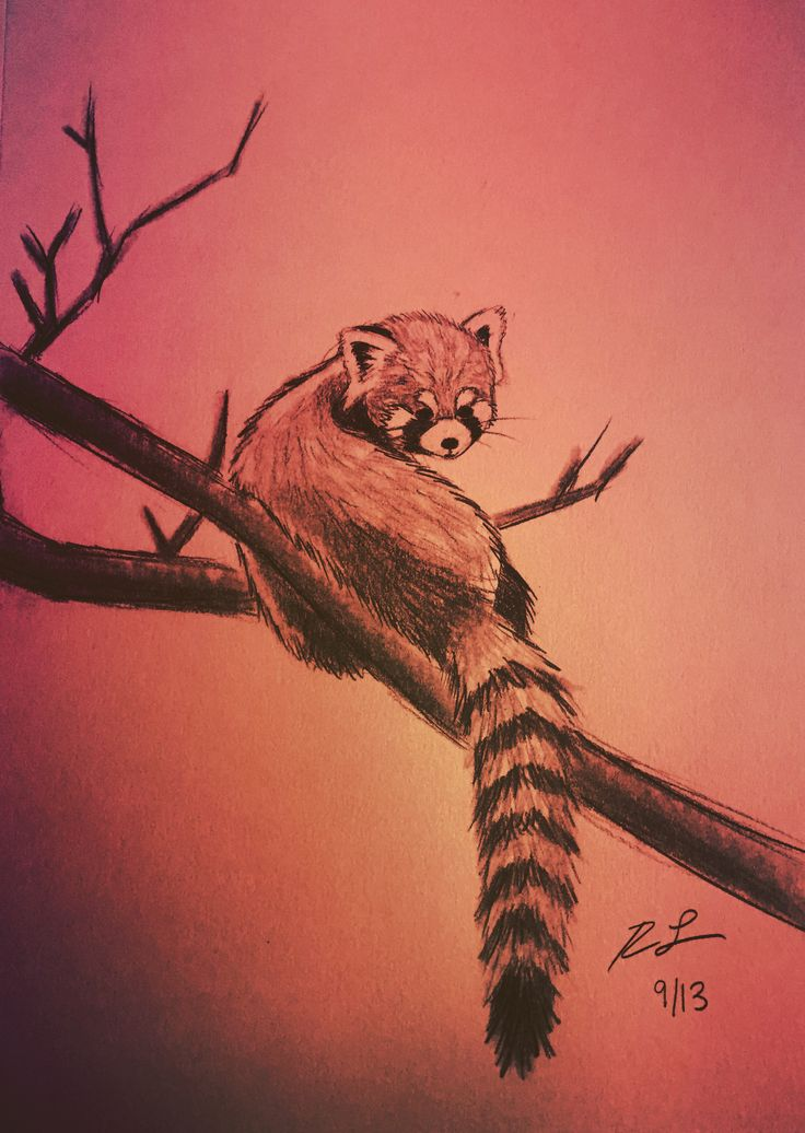 Red Panda - Graphite Sketch - Rhoda Lucey