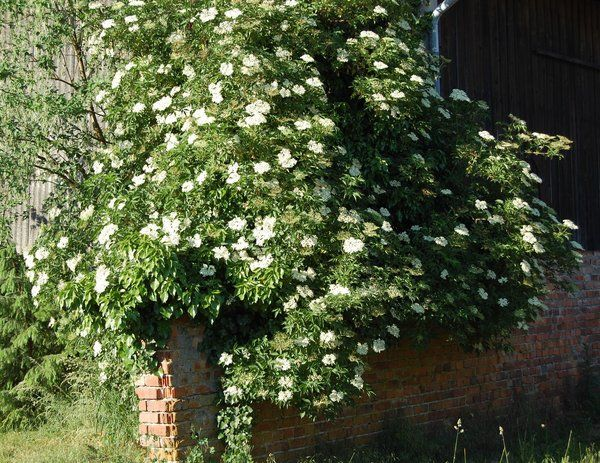 elderflower in Bloom, smells so fantastic -  blühender Holunderstrauch