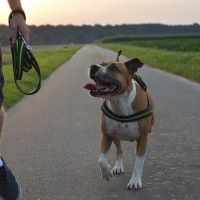 #dogalize Dog breeds: American Staffordshire Terrier characteristics #dogs #cats #pets