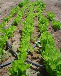 How to plant lettuce in 7 easy steps... I can't wait for all my home grown salads this summer!!!!!!!