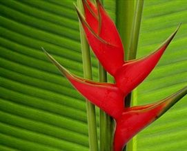 Heliconia: Flower Filler; Available in upright or hanging; Available in red, orange, pink, or yellow