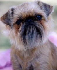 brussels griffon grooming profile | Griffon Bruxellois