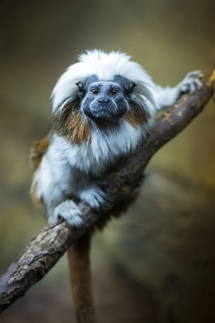 Cotton Top Tamarin - A small New World monkey weighing less than 0.5 kg (1.1 lb) is one of the smallest primates. They are easily recognized by the long white crest extending from the forehead to its shoulders. The species is found in tropical forest edges and secondary forests in northwestern Colombia where it lives in trees and its daily diet includes insects and plant secretions and it is an important seed disperser in the tropical ecosystem