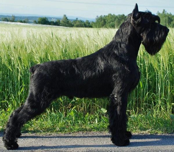 Giant Schnauzer Guard Dog For Sale