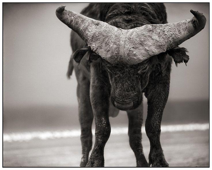 Buffalo With Lowered Head