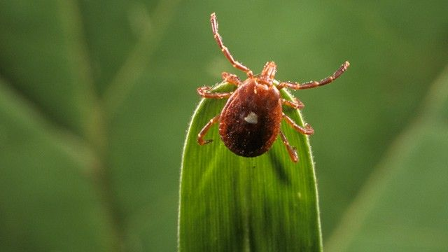 Lone star tick, a tiny tick, whose bite might be spreading meat allergies in humans up the East Coast.