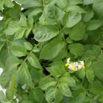 Potato flowers - growing potatoes i pots