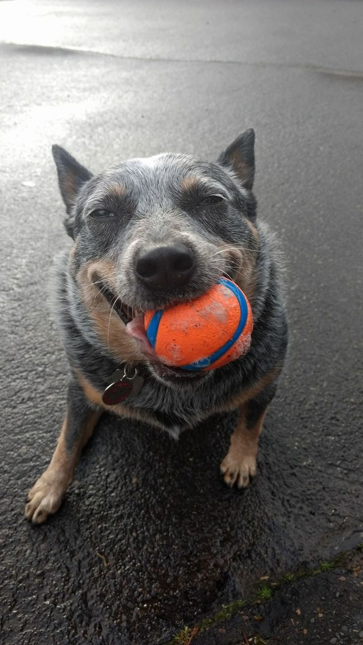 ... Cattle Dog) on Pinterest  Blue heeler dog, Image dog and Cattle
