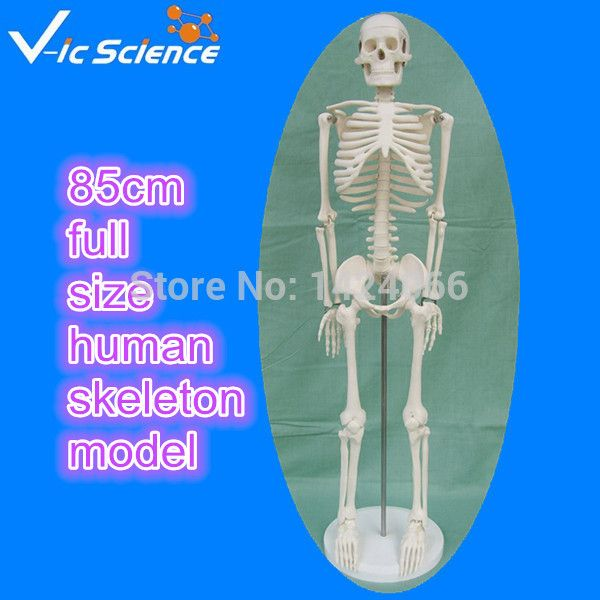 Direct factory 85cm full size human skeleton model