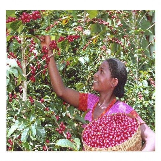 The Coffee Cube - India Royal Kaapi Robusta AA