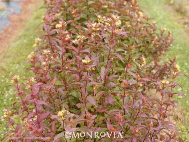 Monrovia's Kodiak® Red Diervilla details and information. Learn more about Monrovia plants and best practices for best possible plant performance.