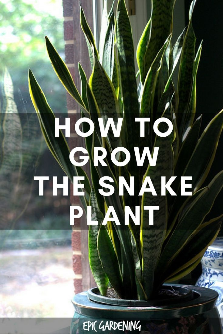 Snake Plant Care  Growing The Mother In Laws Tongue