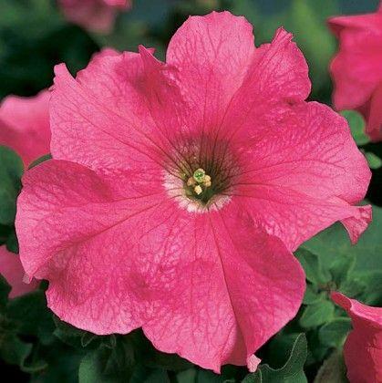Petunia Pink Ribbon #pohlmansnursery #10pots #gardening #australia