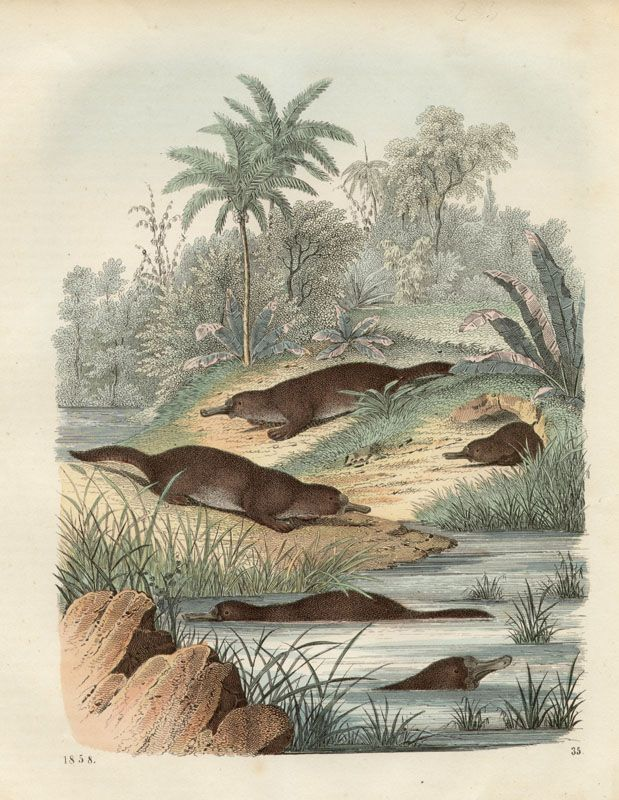 Platypus, German Wood-engraving with original hand-colouring, 1858