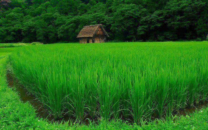 Beutiful paddy fields ...