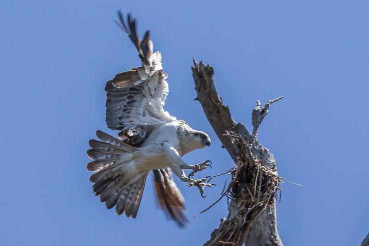 Eastern Osprey in Flight