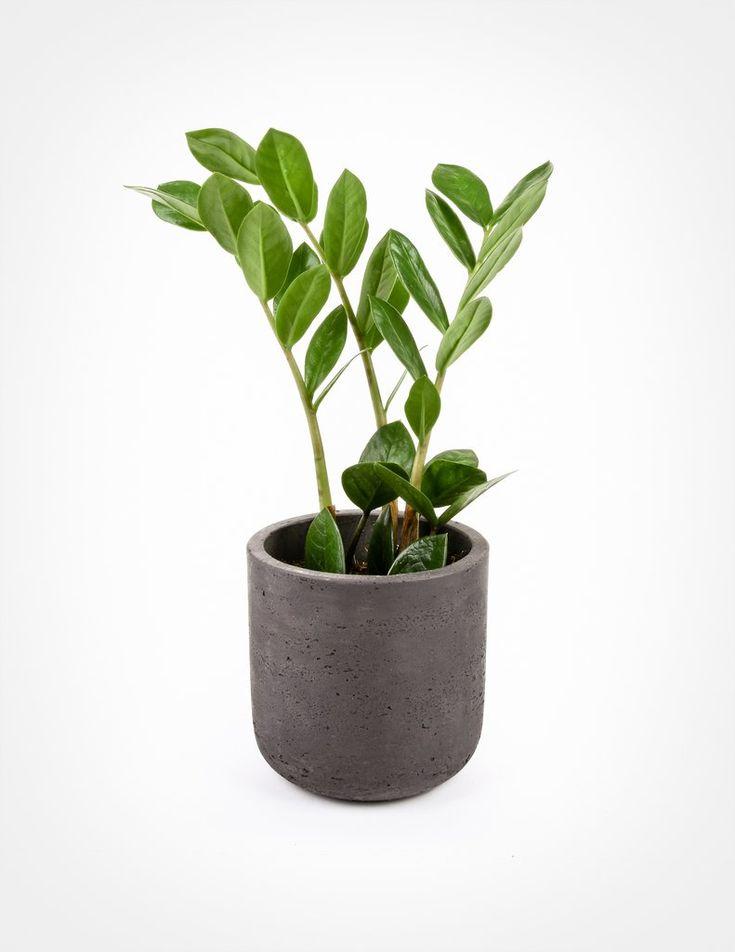 Zamioculcas zamiifolia ZZ Plant Plants, House plants