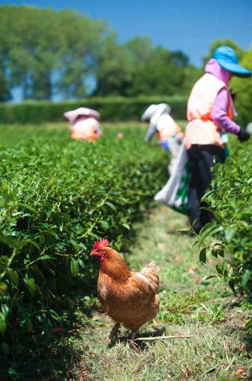 Organic pest control: tea harvesting at Zealong Tea Estate, Hamilton, New Zealand