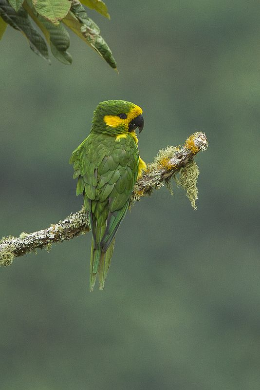 Yellow-eared Parrot - Jardin - Colombia