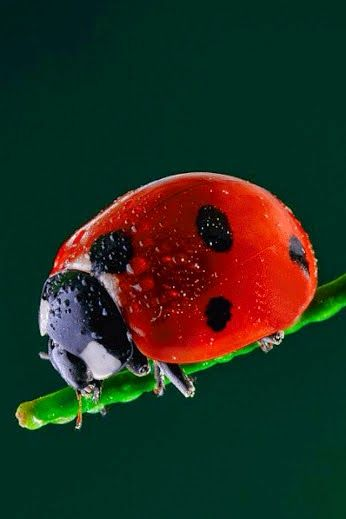 They're like butterflies, they sleep in a cocoon where they become liquid and change entirely, to be such beautiful beings. I love Ladybirds :)