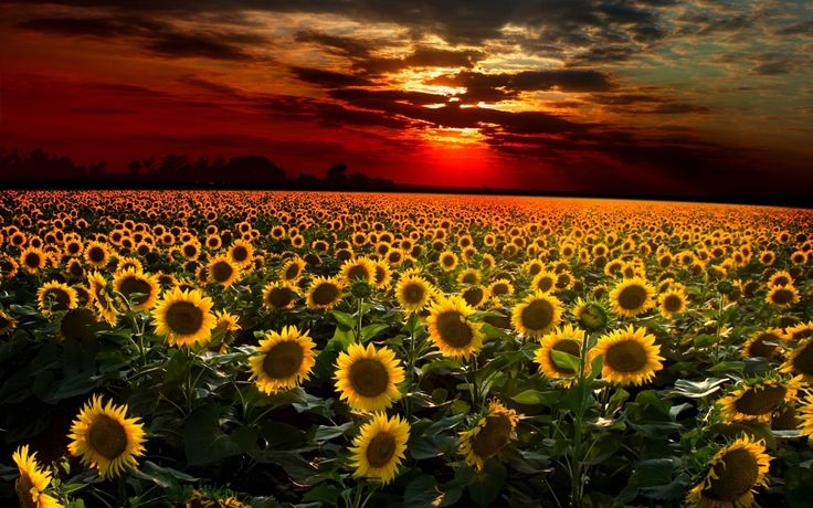 Sunflower Sunset Wallpapers Images