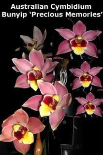 Cymbidium Bunyip 'Precious memories' 68mm pot slc pot – Australian Orchid Nursery