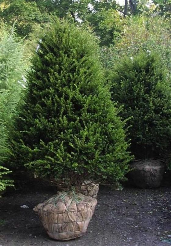 Taxus cuspidata 39 capitata 39 upright japanese yew zone 4 10 for Garden yew trees