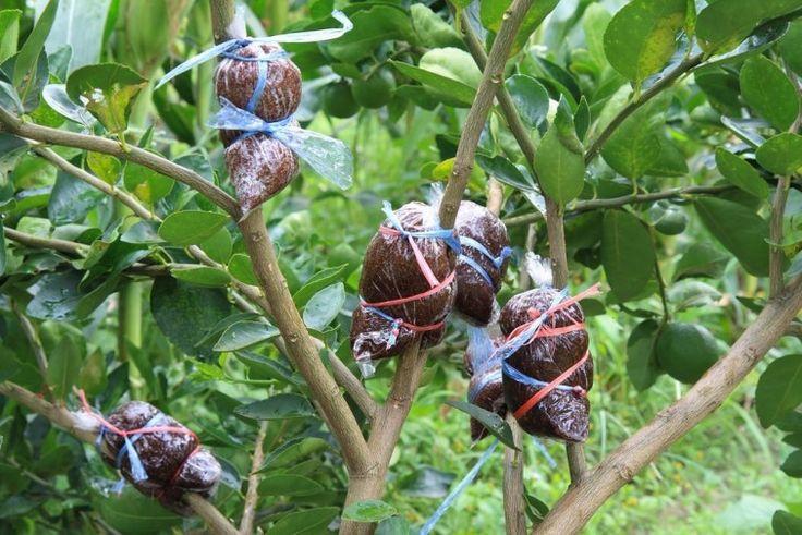 Aprende paso a paso el sencillo método para dar vida a un nuevo árbol a partir de una rama de tu frutal.
