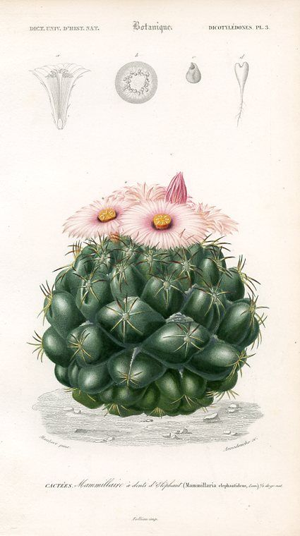 Cactus, botanical illustration