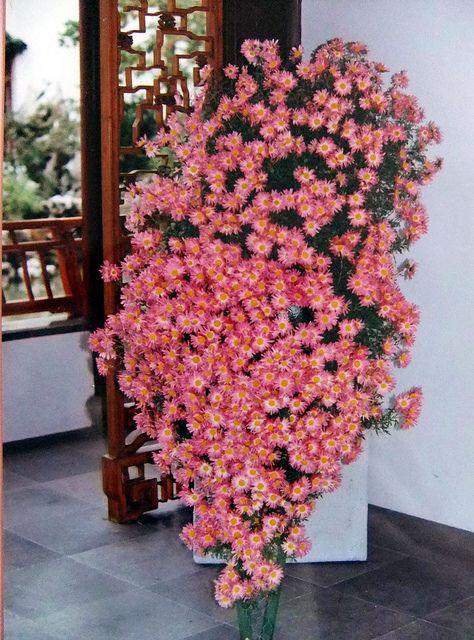 chrysanthemum plant | Cascading Chrysanthemum Plant | Flickr - Photo Sharing!