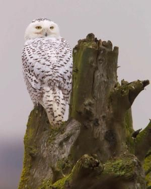 Snow Owl by laverne