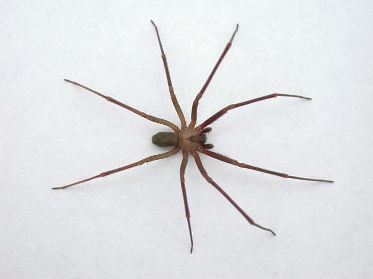 FYI- Brown Recluse Spider - very poisonous: Long Legs, Crawli Things, Brown Recluse Spiders Jpg, Dark Places, Dark Brown, Google Search, Spiders Identification, Danger Spiders, Spiders Bites