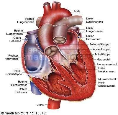 Bildergebnis für herz anatomie