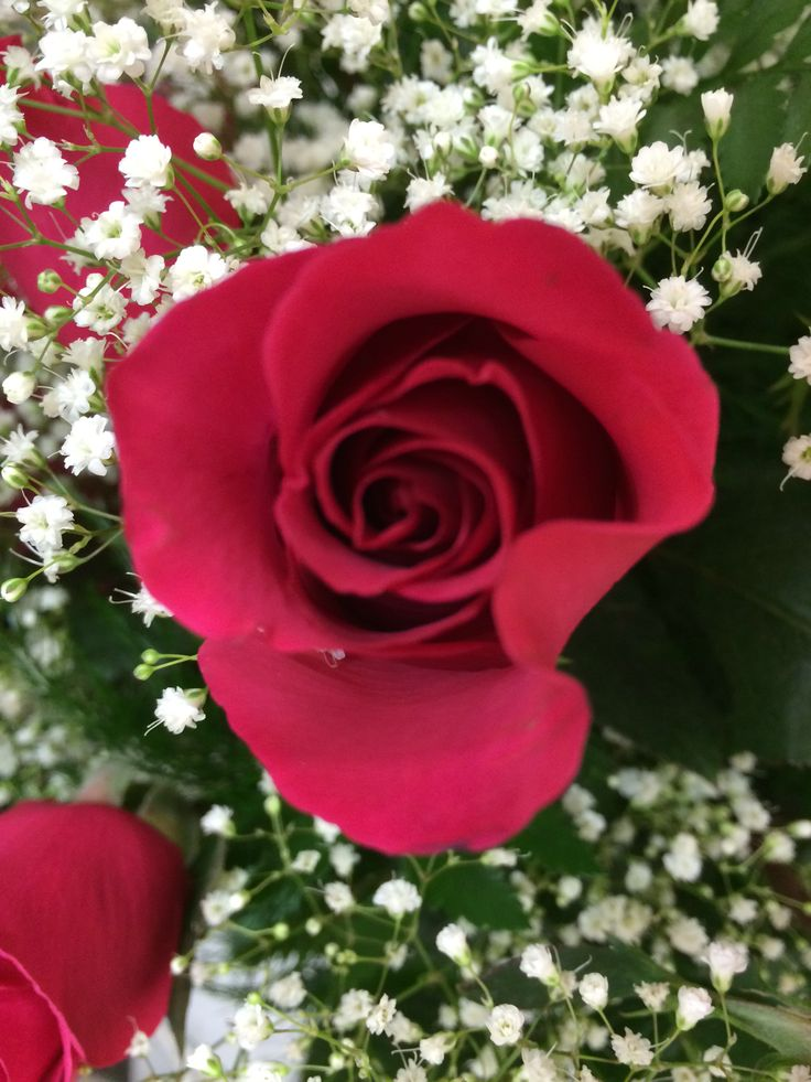 valentine's day roses pictures