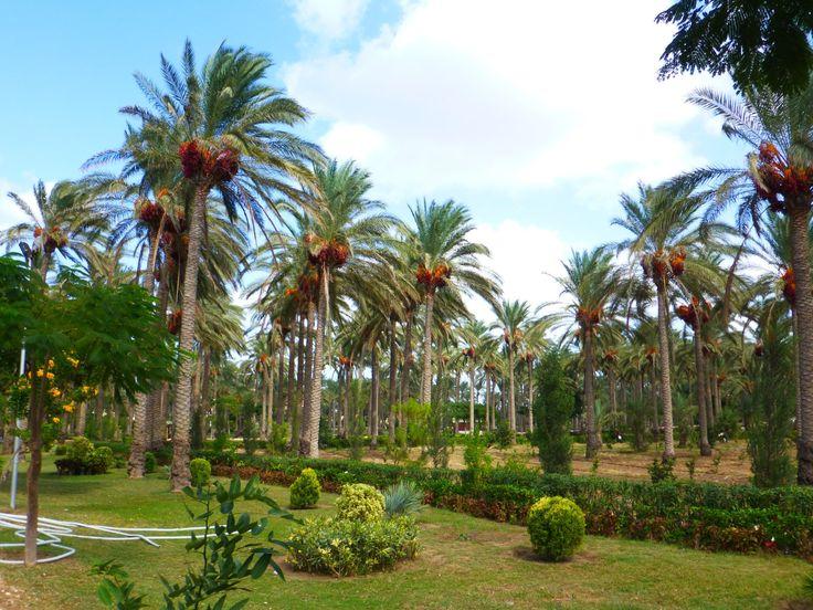 As belas tamareiras dos Jardins do Palácio Real de Montazah, em Alexandria, Egito. Fotografia: Lante. https://www.tripadvisor.com.br/Attraction_Review-g295398-d550320-Reviews-Montazah_Palace_Gardens-Alexandria_Alexandria_Governorate.html#photos;geo=295398&detail=550320&ff=225100109&albumViewMode=hero&albumid=101&baseMediaId=225100109&thumbnailMinWidth=50&cnt=30&offset=-1&filter=7