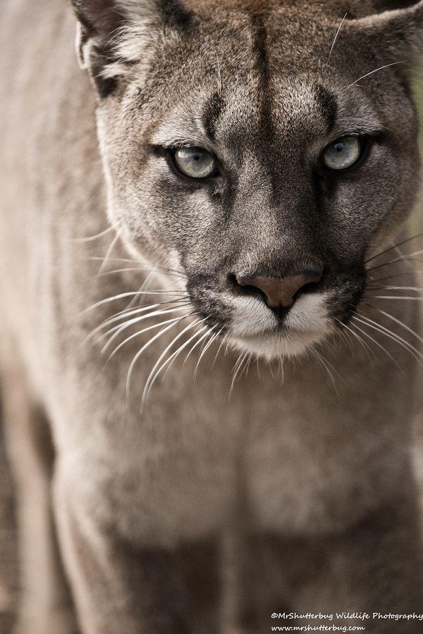 Mountain lion face close up - photo#50