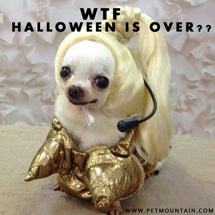 670e26fd97e92af435333153beacd130 halloween costume ideas pet costumes 66 best chihuahua images on pinterest animals, chihuahuas and,Chiwawa Meme