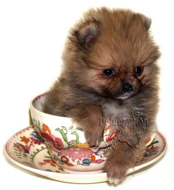pomsky in a cup | teacup Pomeranians, miniature Pomeranians, or Toy Pomeranians for sale